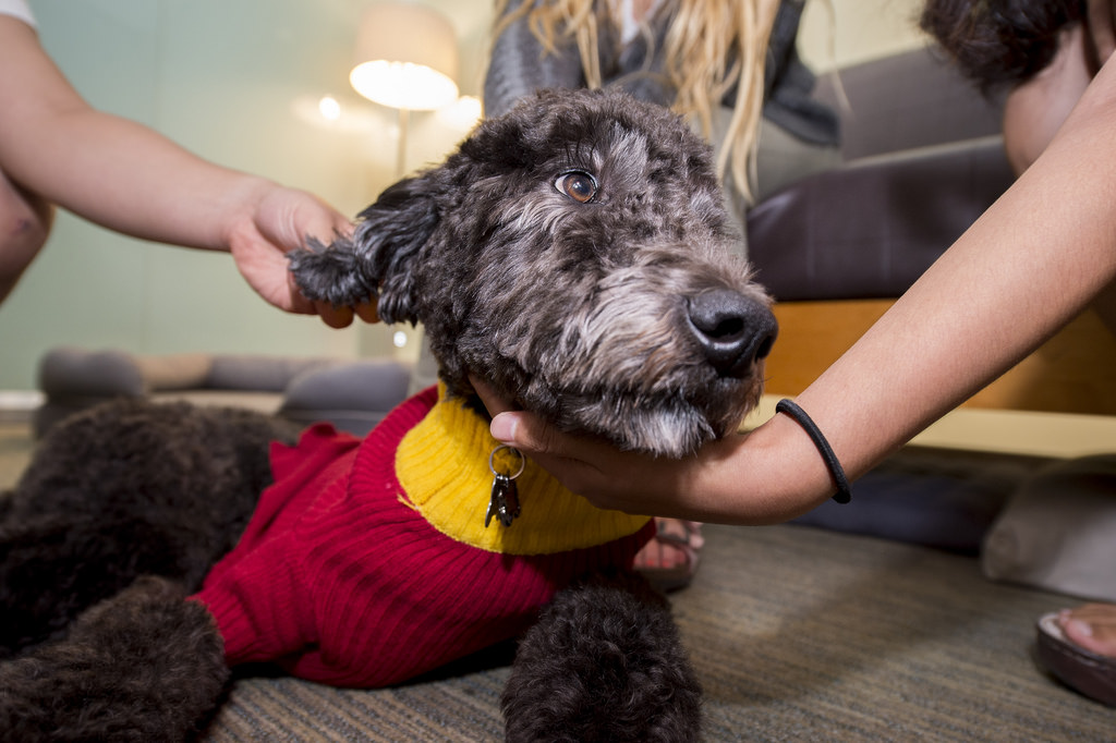 Photo courtesy of USC News  A dog's life · Beau, a two-and-a-half year old Goldendoodle, is a permanent member of the Office of Wellness and Health Promotion.
