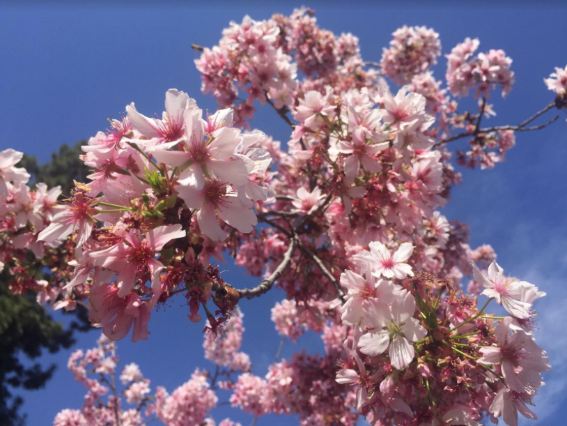 Daily Trojan Cherry Blossoms In Los Angeles