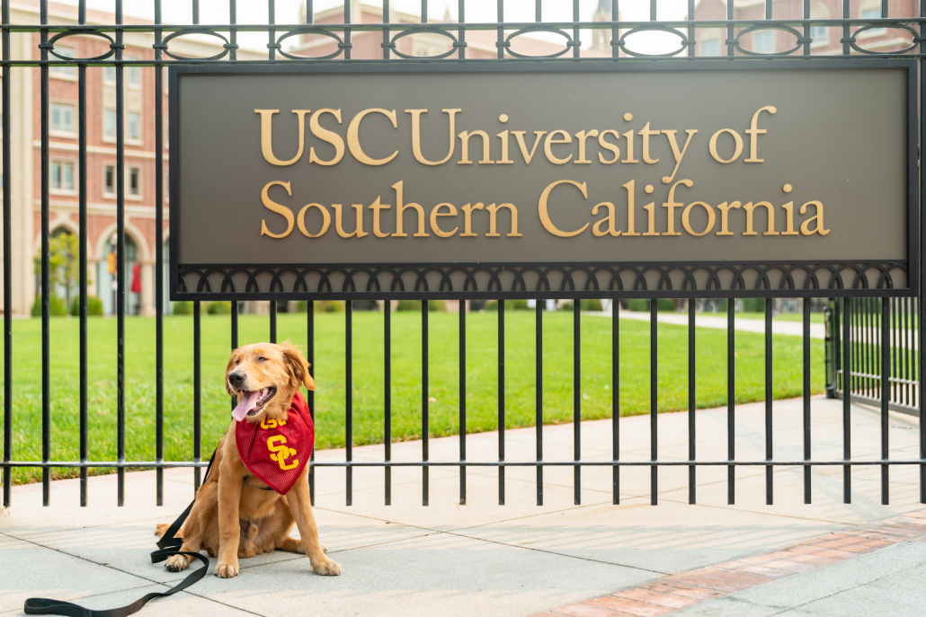 A photo of flat-head goldennoodle Rumi in from of the gates of University of Southern California with his tongue out and a red SC collar